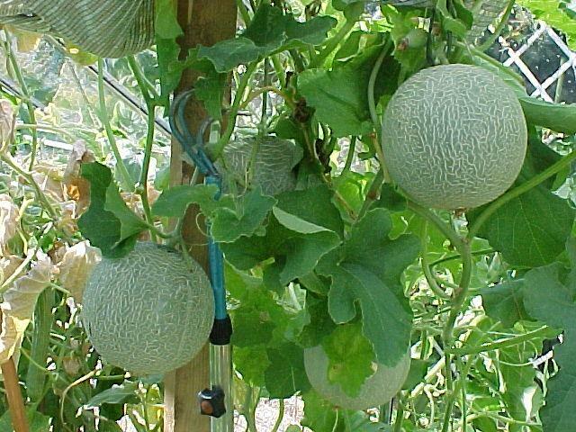 stora meloner video